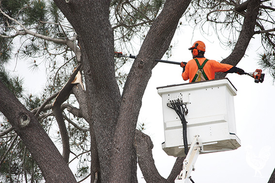Pine trees at North Lake Senior Campus are coming down because they've been deemed too dangerous to remain. Photo by Steve Grant