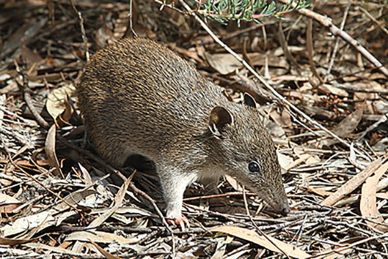• Bandicoots are under threat unless action is taken warn researchers. PhotoWikipedia