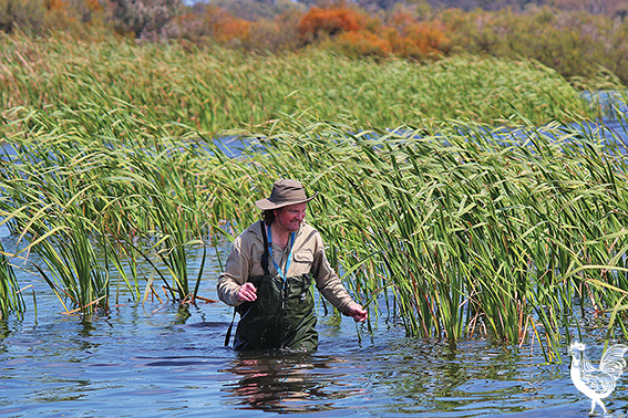 • Citizen scientist Simon Stott searching for bird feathers in Bibra Lake.