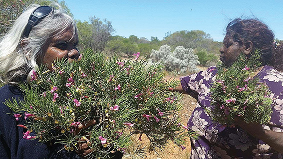 • South Australian traditional healers work alongside doctors and nurses in remote communities.